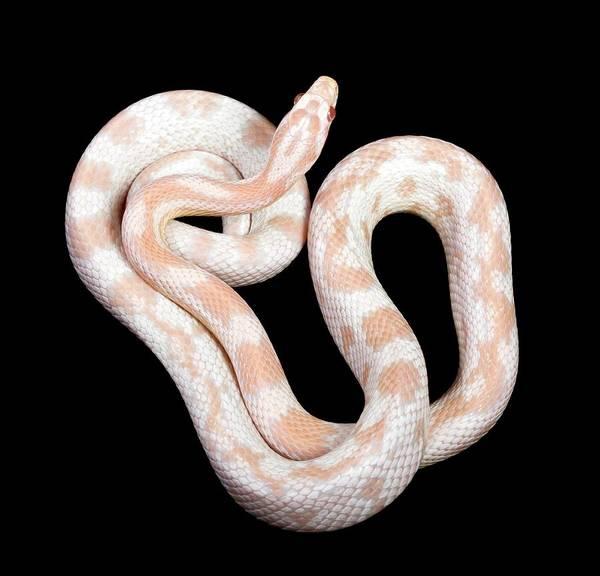 Albino Corn Snake Art Print