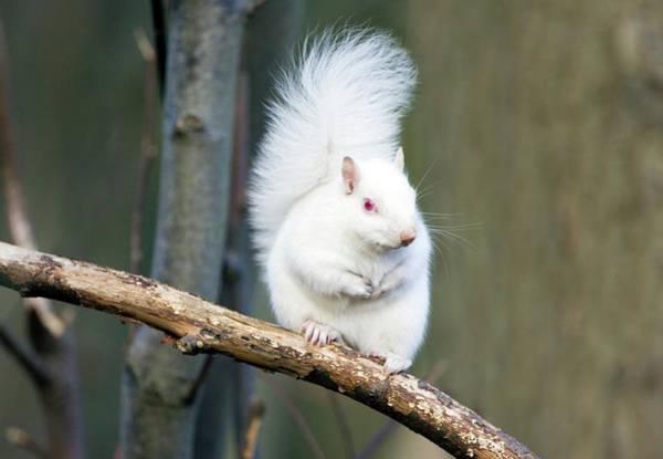 Grey Squirrel Photograph - Albino Grey Squirrel by John Devries/science Photo Library