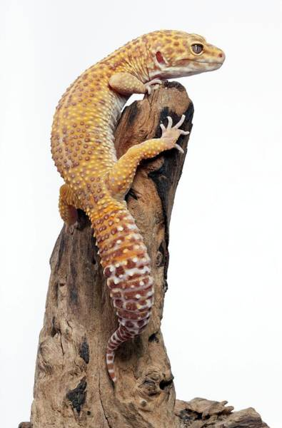 Climbing Vine Photograph - Albino Leopard Gecko by Pascal Goetgheluck/science Photo Library