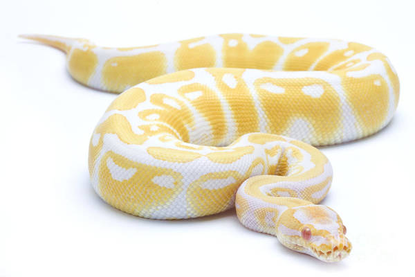 Photograph - Albino Royal Python by Michel Gunther