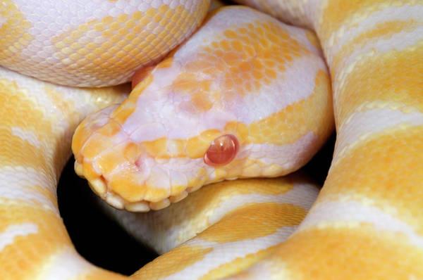 Eye Ball Photograph - Albino Royal Python by Nigel Downer