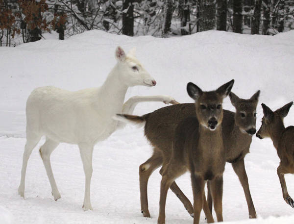 Fawn Photograph - Albino Whitetail Deer With Fawns by Photos By Michael Crowley