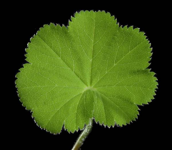 Wall Art - Photograph - Alchemilla Mollis Leaf by Pascal Goetgheluck/science Photo Library