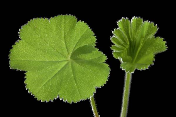 Wall Art - Photograph - Alchemilla Mollis Leaves Unfolding by Pascal Goetgheluck/science Photo Library