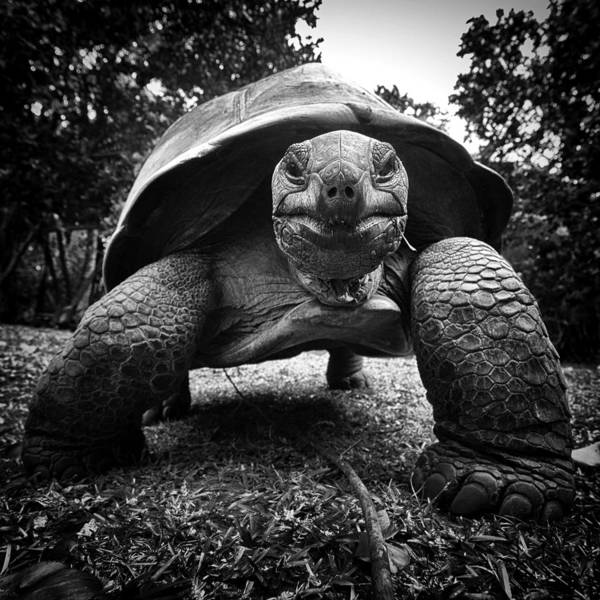 Photograph - Aldabra Giant Tortoise by Fabrizio Troiani