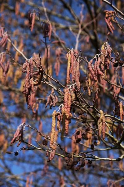 Alder Photograph - Alder (alnus Glutinosa) by Brian Gadsby/science Photo Library