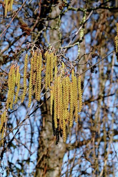 Alder Photograph - Alder (alnus Glutinosa) by Bruno Petriglia/science Photo Library