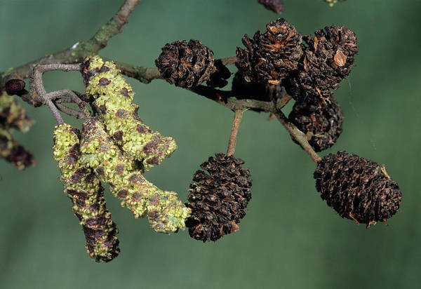 Alder Photograph - Alder Catkins And Cones (alnus Glutinosa) by Bob Gibbons/science Photo Library