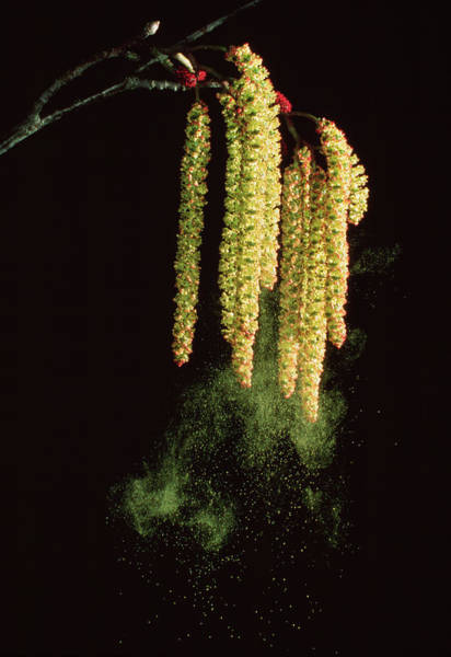 Alder Photograph - Alder Catkins Shedding Pollen by Dr. Jeremy Burgess/science Photo Library