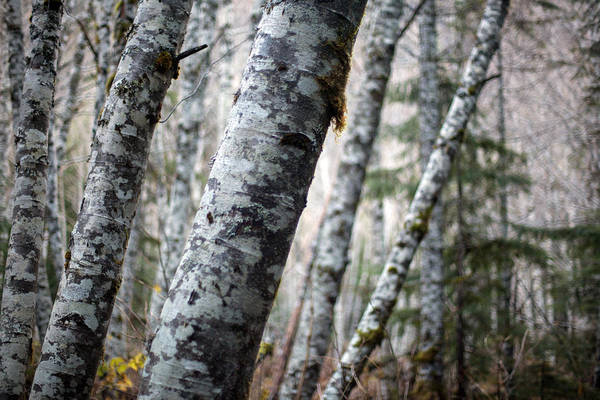 Alder Photograph - Alder Forest Leaning by Mike Reid
