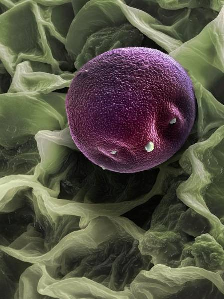 Alder Photograph - Alder Pollen Grain by Martin Oeggerli/science Photo Library