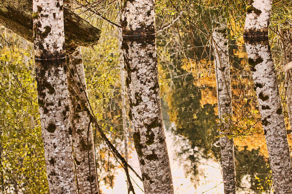 Photograph - Alder Tree Reflections by Peggy Collins