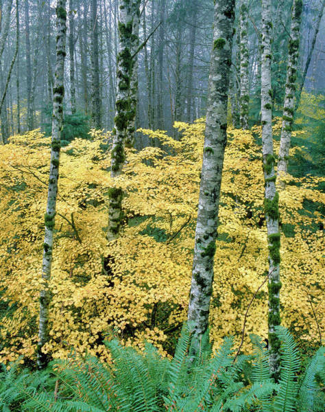 Alder Photograph - Alders And Vine Maples, Clatsop County by Panoramic Images