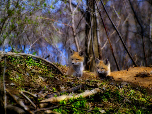 Photograph - Alert Cute Kit Foxes by Thomas Young