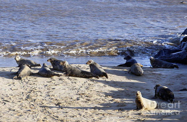 Photograph - Alert Grey Seals In England by Paul Cowan
