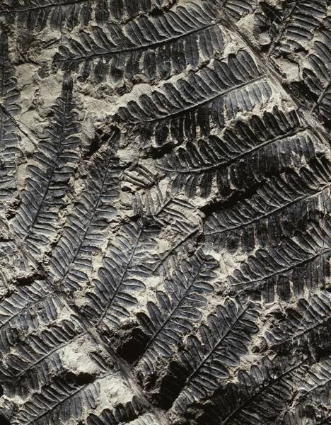 Specimen Photograph - Alethopteris Seed Fern Fossil by Gilles Mermet