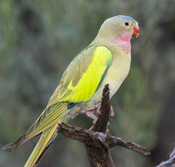 D Day Photograph - Alexandras Parrot Alice Springs by D. Parer & E. Parer-Cook