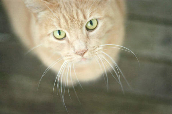 Orange Tabby Photograph - Alfie 3 by Fraida Gutovich