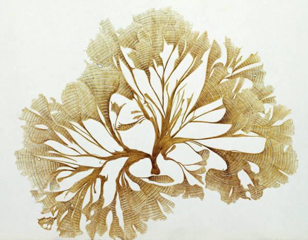 Wall Art - Photograph - Alga (ulva Pavonia) by Natural History Museum, London/science Photo Library