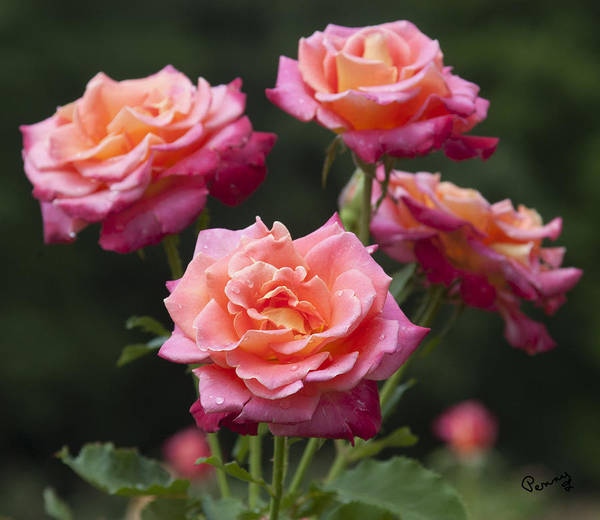 Photograph - All-america Roses by Penny Lisowski