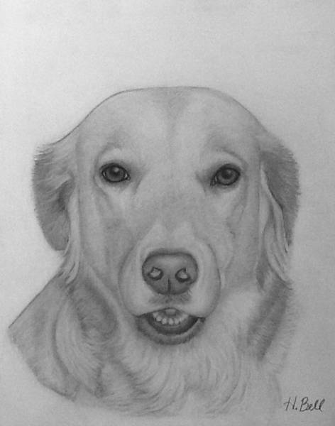 Golden Retriever Drawing - All American Dog by Holly Bell