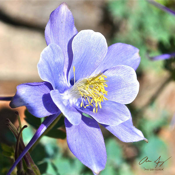 Photograph - All Blue Columbine by Aaron Spong