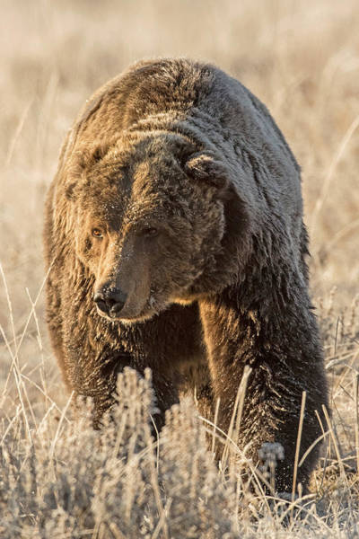Grizzly Bears Photograph - All Hail The King by Sandy Sisti