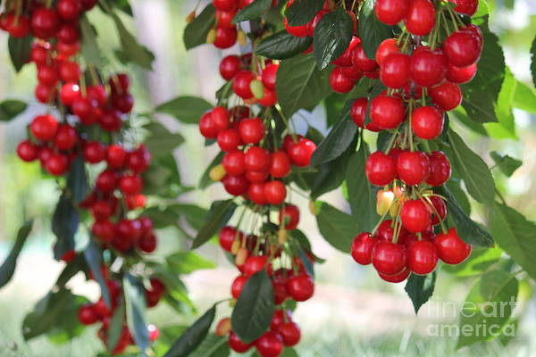 Photograph - All Round Cherries by Donna L Munro