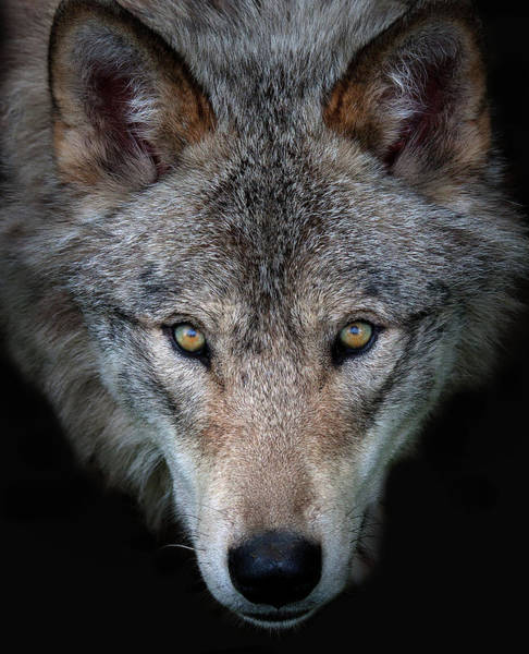 Reserve Wall Art - Photograph - All The Better To See You - Timber Wolf by Jim Cumming