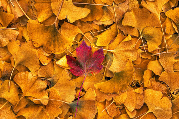 Photograph - All The Leaves Are Gold  But There's One Astray by Robert FERD Frank