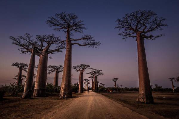 Path Photograph - Alla?e Des Baobabs by Marco Tagliarino