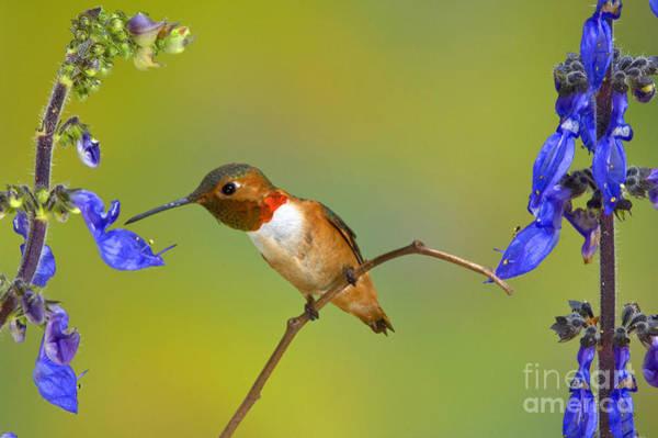 Photograph - Allens Hummingbird by Anthony Mercieca
