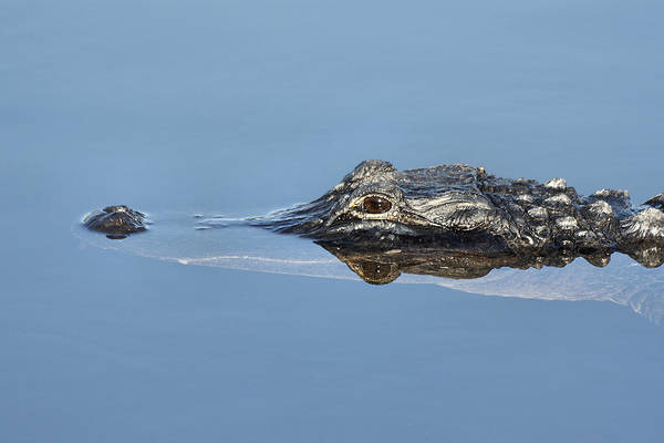 Photograph - Alligator-7 by Rudy Umans