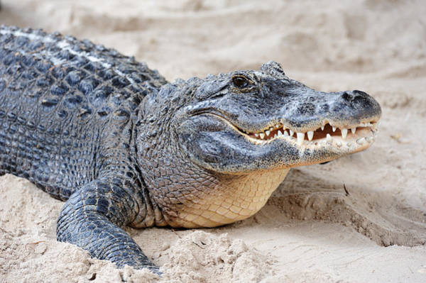 Photograph - Alligator Closeup On Sand by Songquan Deng