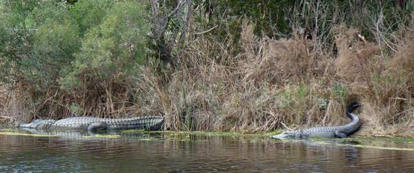 Kiawah Island Photograph - Alligator Duo On Kiawah Island by Rosanne Jordan