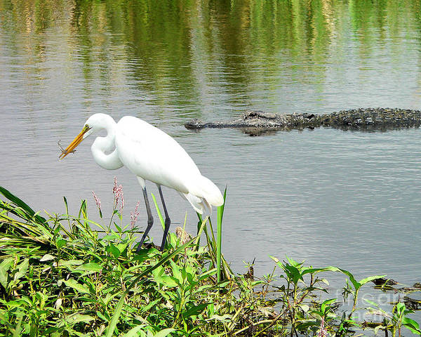 Gator Photograph - Alligator Egret And Shrimp by Al Powell Photography USA