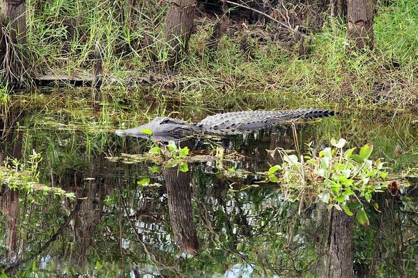 North American Wildlife Photograph - Alligator In Swamp by Jim West