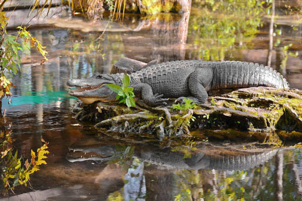 Photograph - Alligator Mississippiensis by Christine Till