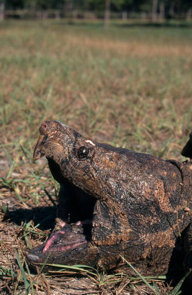 Snapping Wall Art - Photograph - Alligator Snapping Turtle by Karl H. Switak