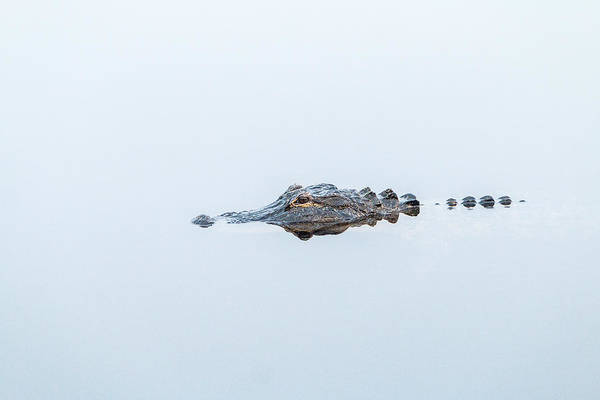 Photograph - Alligator Stealth by Patti Deters