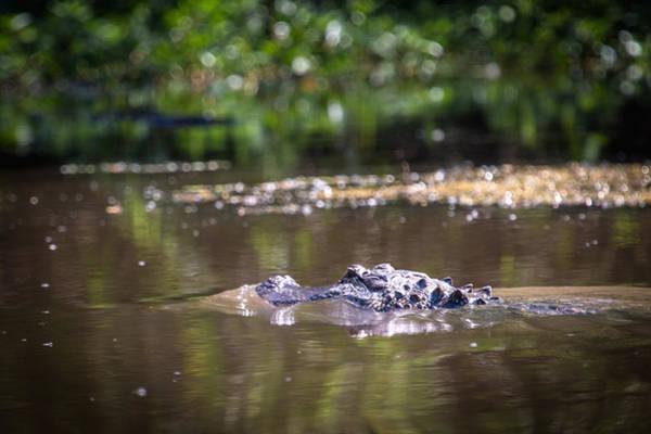 Alligator Swimming In Bayou 1 Art Print