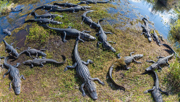 Anhinga Photograph - Alligators Along The Anhinga Trail by Panoramic Images