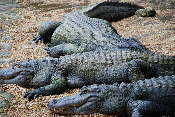 Photograph - Alligators Sunning by Beverly Stapleton