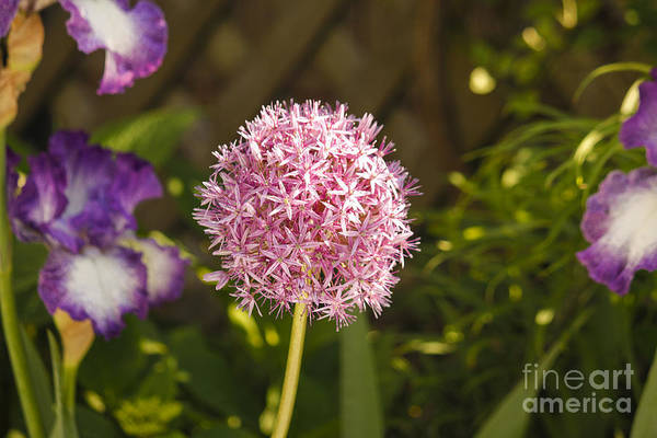 Photograph - Allium And Iris by Tom Doud