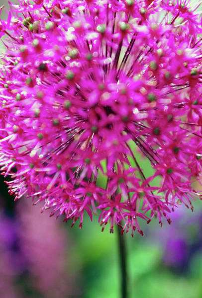 Perennial Photograph - Allium Giganteum by Rachel Warne/science Photo Library