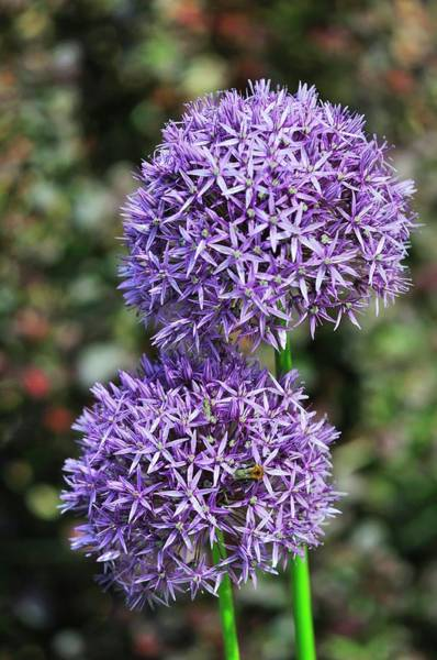 Wall Art - Photograph - Allium 'globemaster' In Flower by Colin Varndell/science Photo Library