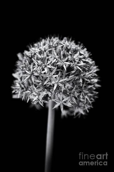 Wall Art - Photograph - Allium Globemaster by Tim Gainey