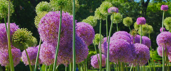 Photograph - Allium Panoramic by Joann Vitali