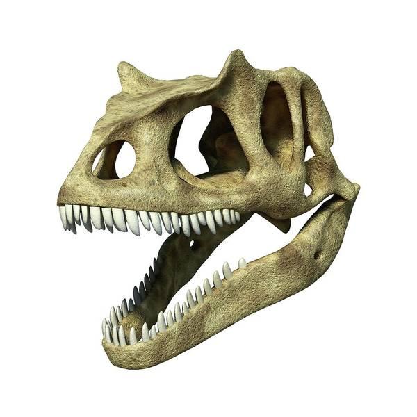 Allosaurus Dinosaur Skull Art Print by Leonello Calvetti/science Photo Library