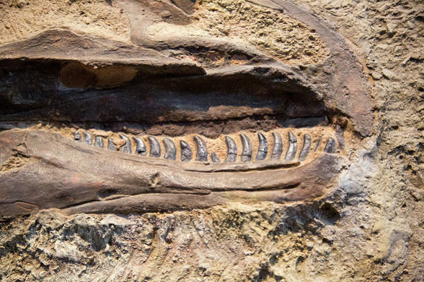 Dinosaur National Park Photograph - Allosaurus Fossil Jaws by Jim West